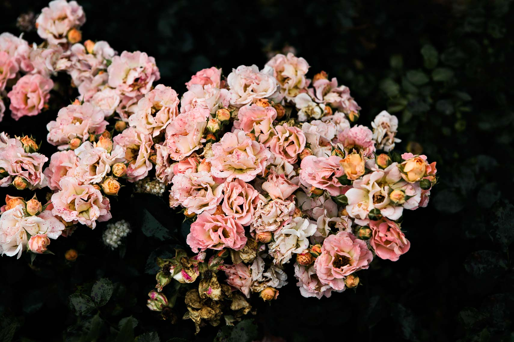 Roses photographed at dawn in plantation garden by  interior design editorial Atlanta based photographer