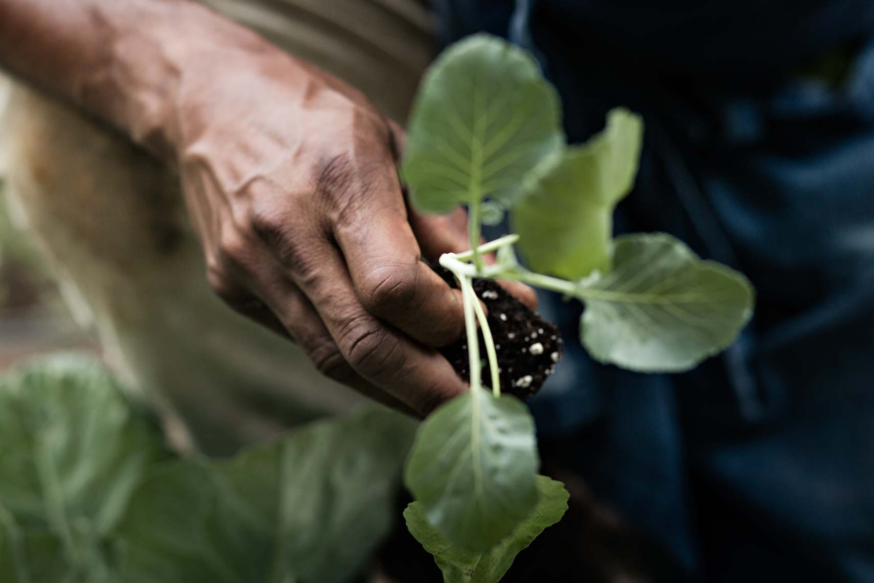 Close-up photograph of african american farmer holding seedling, Atlanta