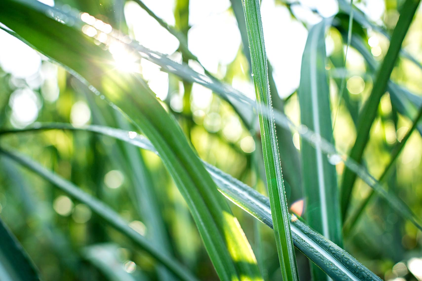 Sugarcane in the sun by Atlanta lifestyle photographer Nick Burchell